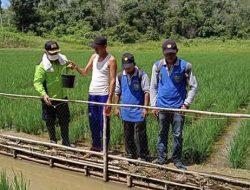 Efisiensi Lahan, Petani dari Desa Netampin Kembangkan Mina Padi