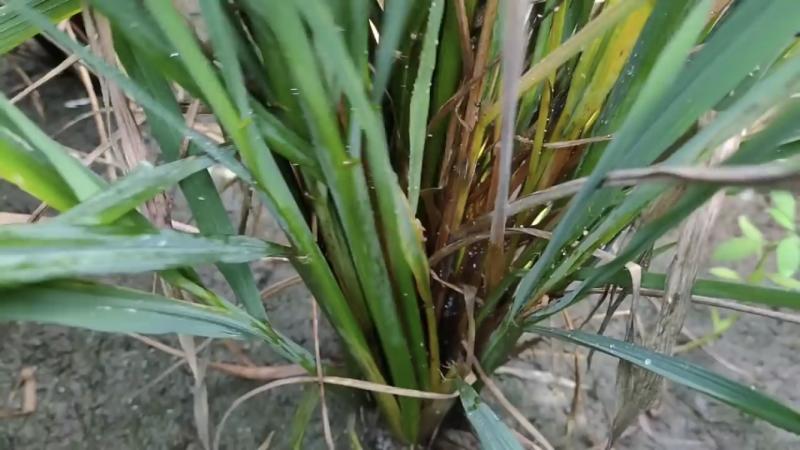 Hama wereng pada tanaman padi