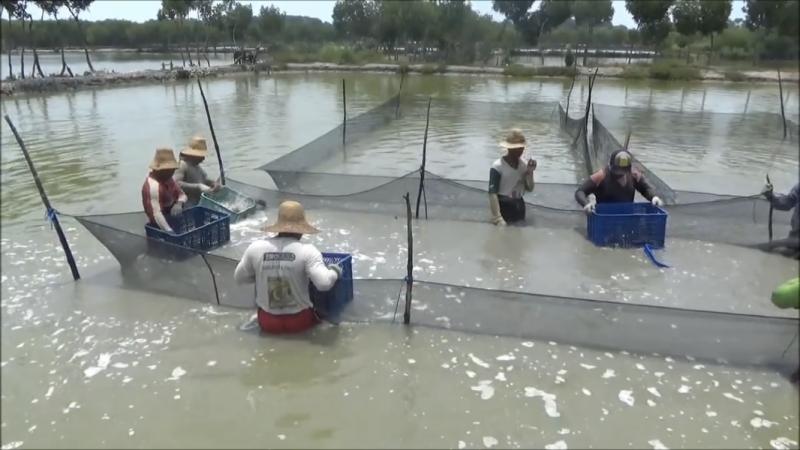 Ilustrasi: Petani tambak panen Ikan Kerapu Cantang