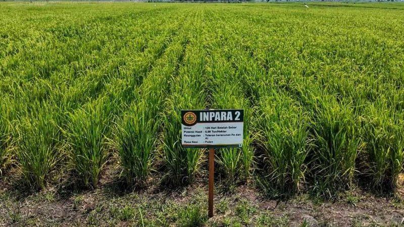 Salah satu demonstration plot (demplot) padi Inpara 2 yang dikembangkan oleh Kementerian Pertanian