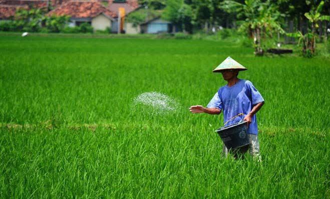 Pemberian pupuk pada tanaman padi (kabartani)