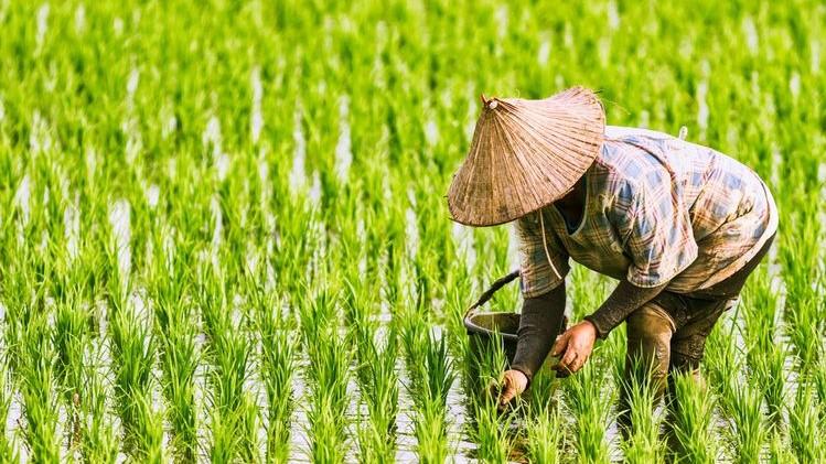 Foto: Petani sedang menanam padi
