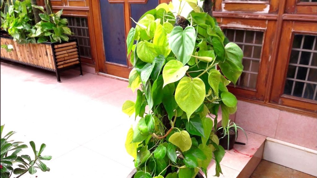 Heart Leaf Philodendron (Philodendron oxycardium)