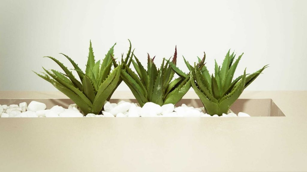 Lidah Buaya (Aloe vera)