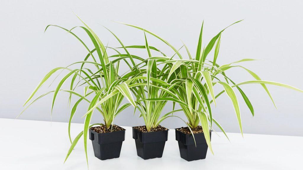 Spider Plant (Chlrophytum comosum)