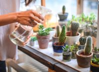 Manfaat Tanaman Kaktus Di Dalam Ruangan