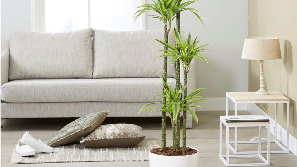 Warneck Dracaena (Dracaena deremensis)