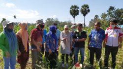 Serangan ulat grayak jagung (UGJ) menyerang pertanaman jagung di Kabupaten Gowa, Provinsi Sulawesi Selatan
