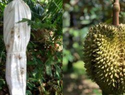 Petani Durian di Malaysia Usir Pencuri Pakai Pocong dan Dupa