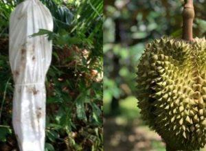Ilustrasi Pocong di ebun durian