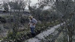Petani membersihkan tanaman brokoli dan cabai rawit yang tertutup debu vulkanik pascaerupsi Gunung Sinabung di Desa Naman, Kecamatan Naman Teran, Karo, Sumatera Utara, Selasa (11/8/2020).