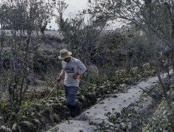 Kerugian Sektor Pertanian Akibat Abu Vulkanik Sinabung Mencapai Rp 170,4 Milyar