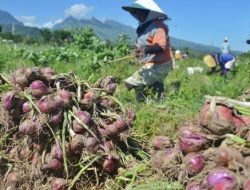 Meski Mengalami Deflasi, Petani Menilai Harga Bawang Merah Masih Stabil