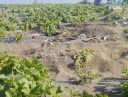 Fakta dari Kejadian Kebun Melon Milik Warga yang Digilas Kendaraan TNI di Kebumen