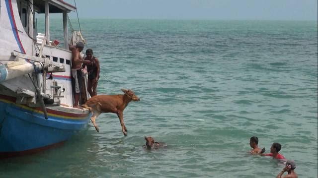 Sapi ternak dilempar ke laut dan diberenangkan sampai dermaga