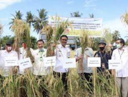 Korporasi Benih Padi Buktikan Kualitas Hasil Panen di Kabupaten Barru