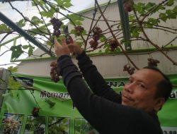 Kebun Opung Siregar Buktikan Buah Anggur Bisa Tumbuh di Pekanbaru