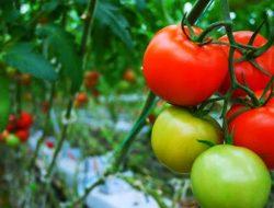 4 Hal Berikut Perlu Diperhatikan Sebelum Tanam Tomat dalam Pot Gantung