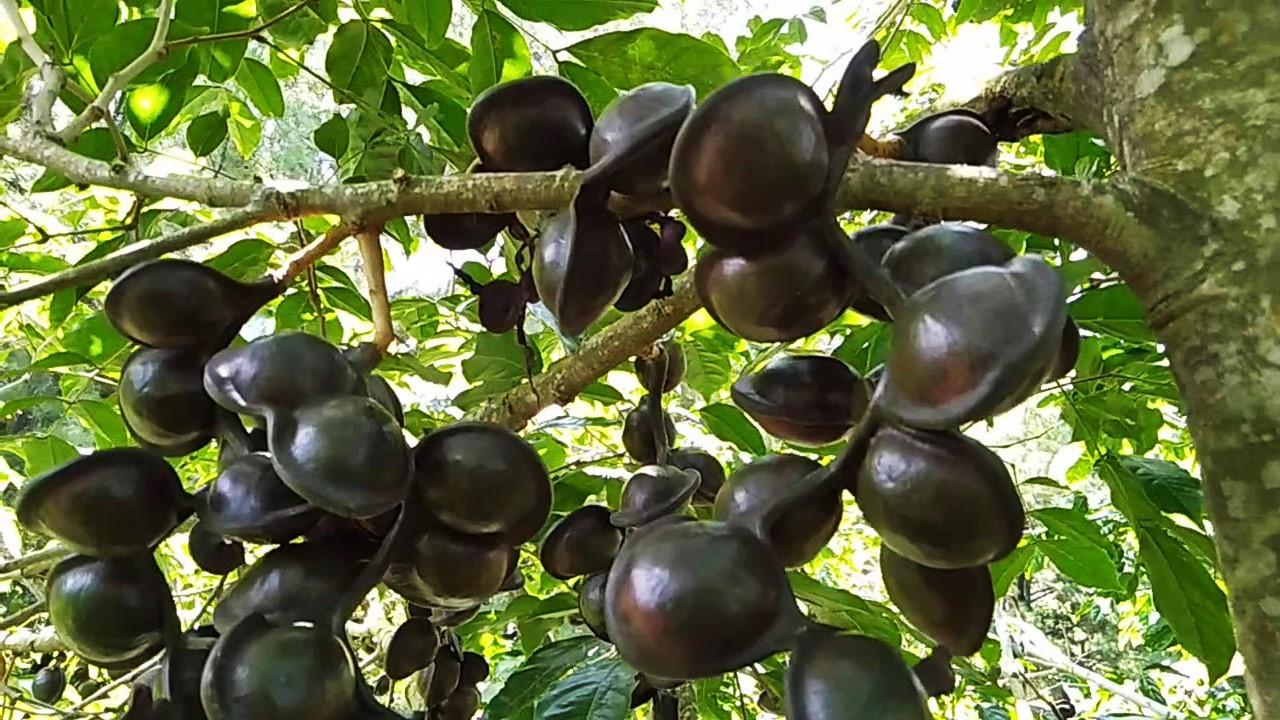 pestisida organik nabati alami