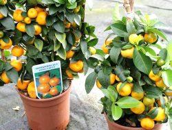 Perhatikan Cara Pangkas Tanaman Jeruk dalam Pot Agar Berbuah Lebat