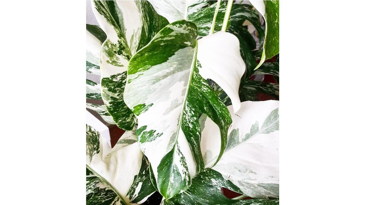 Monstera borsigiana variegate