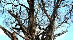 pohon-mati