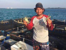 Sea Farming Untuk Keberlanjutan Lobster Indonesia