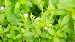 Tanaman pemanis alami, Stevia