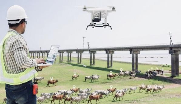 Peternak Australia Gembalakan Sapi dengan Drone