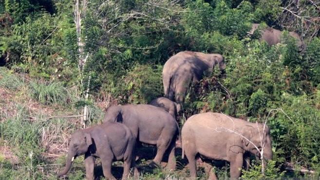 Kawanan Gajah liar masuk ke kebun sawit warga Aceh Barat