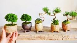 bonsai terbaik