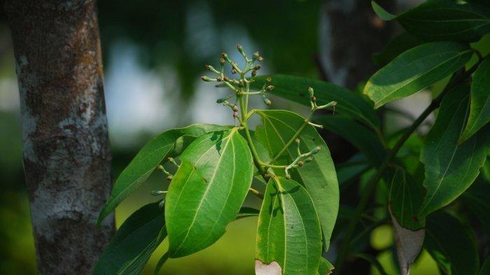 Kayu manis (Cinnamomum burmanni Nees ex Bl.)