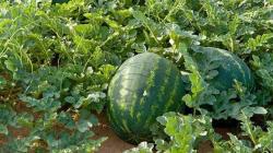 kulit-semangka-3