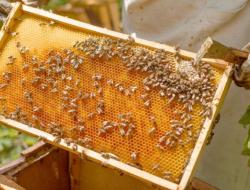 Mengenal 9 Jenis Lebah Penghasil Madu