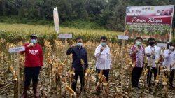 Minahasa panen jagung hibrida hasil korporasi kementan. Foto : Dok.Ditjen Tanaman Pangan Kementan RI