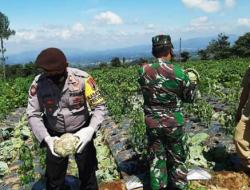 Petani Wonosobo Sumringah, Kodim dan Polres Borong Sayurannya 3 Ton