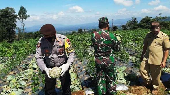 Personil Kodim dan Polres Wonosobo memetik sayuran langsung di ladang dalam memborong sayuran petani