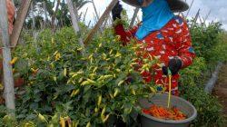 Ilustrasi: Buruh tani  memanen cabai  rawit