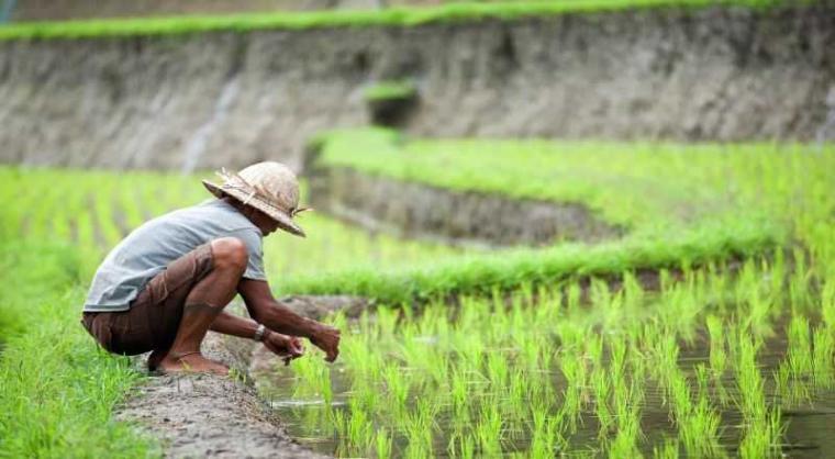 Petani, ujung tombak kebutuhan pangan masyarakat. (Okezone)
