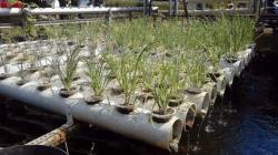 Tanam bawang putih hidroponik
