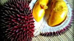 Lahong (Durian dulcis)