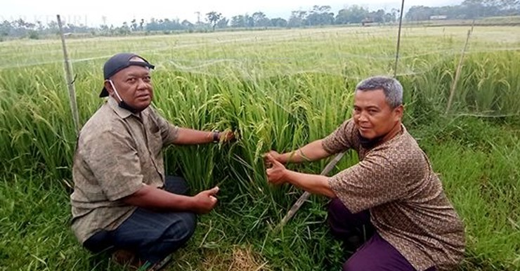Agus (bertopi) dan Ali Maksun memeriksa bulir padi yang mulai berisi di lahan pertanian organik milik mereka di Desa Kencong, Kecamatan Kepung. (MOCH. DIDIN SAPUTRO, Radar Kediri)
