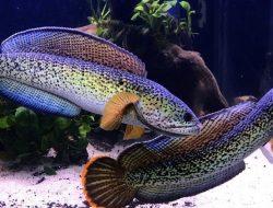 Bukan Untuk Konsumsi, Ikan Gabus Kini Jadi Ikan Hias Seharga Jutaan Rupiah