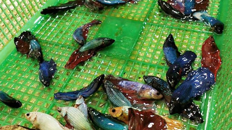 Panen ikan Cupang