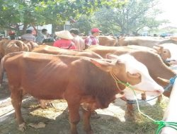 Harga Sapi Anjlok, Pengungsi Lereng Merapi Tetap Jual Hewan Ternaknya