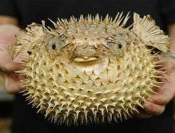 Ikan Buntal, Ikan Beracun yang Menjadi Menu Favorit di Jepang