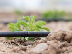 Mengatasi Tanaman Hortikultura yang Layu dengan Drip Irrigation