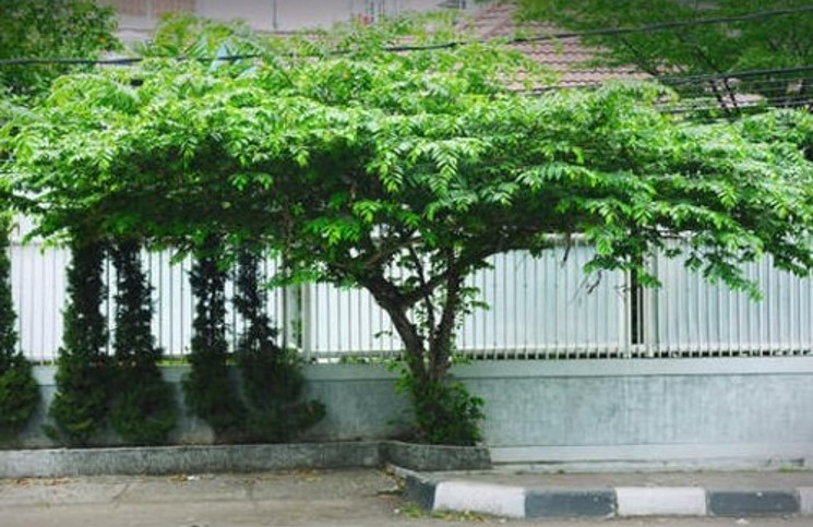 Pohon kersen di pinggir jalan