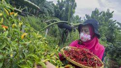 Sejumlah warga memanen hasil pertanian dalam kegiatan panen serentak di Susia Garden, Kalibata, Jakarta, Senin, (30/11).