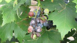 Tanaman anggur terserang hama